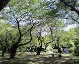秋の桜@小石川植物園