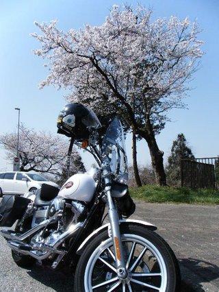 ハーレーダビッドソンと桜