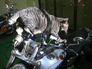 ハーレーダビッドソンと猫4