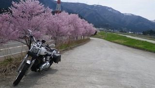 ハーレーと桜
