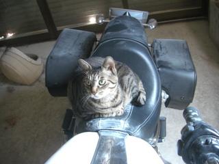 ハーレーダビッドソンと猫