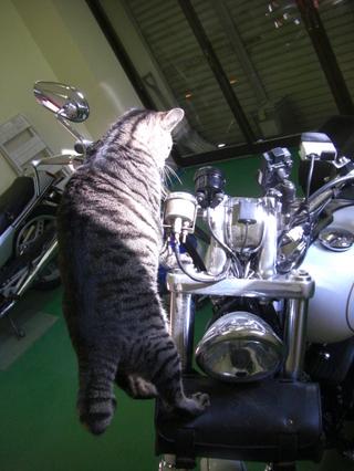 ハーレーダビッドソンと猫3