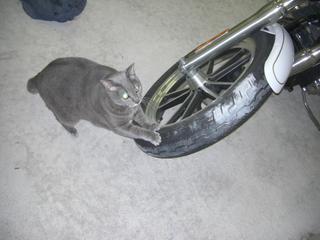 ハーレーダビッドソンで爪とぎする猫