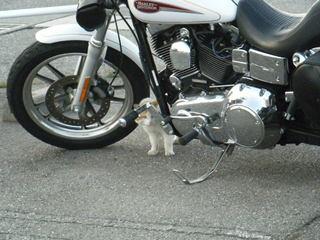 ハーレーダビッドソンと猫ちゃん2