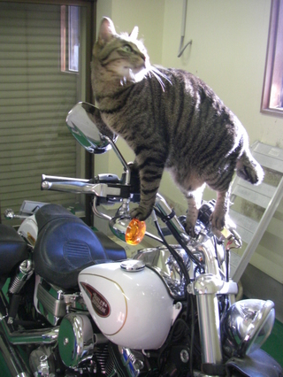 ハーレーダビッドソンと猫1