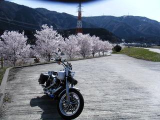 ハーレーと桜並木