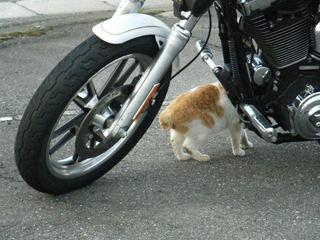 ハーレーダビッドソンと猫さん3