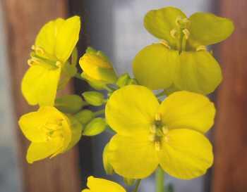 野沢菜の花