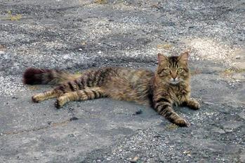 近所の雄猫
