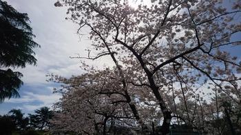 エウルの桜
