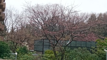 雪残るサクラの木