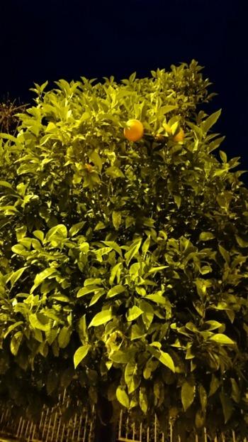 オレンジの街路樹