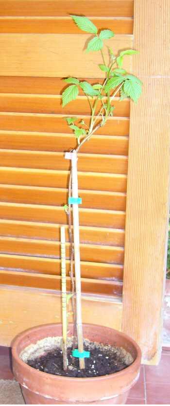 ラズベリーの苗