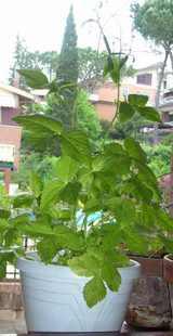 生い茂る三つ葉