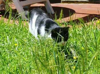 狩り猫ピッコラ