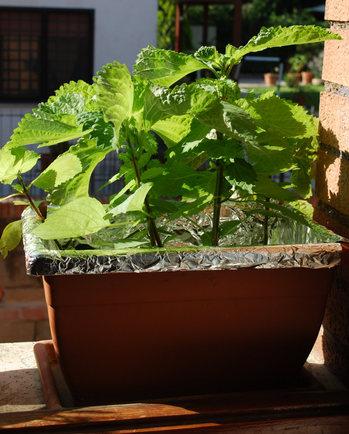 窓際菜園の紫蘇