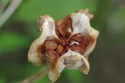 チューリップの種728