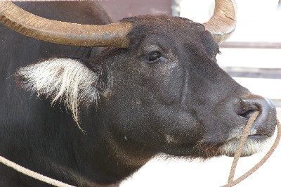 水牛2008.3.5
