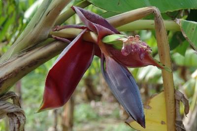 バナナの花25