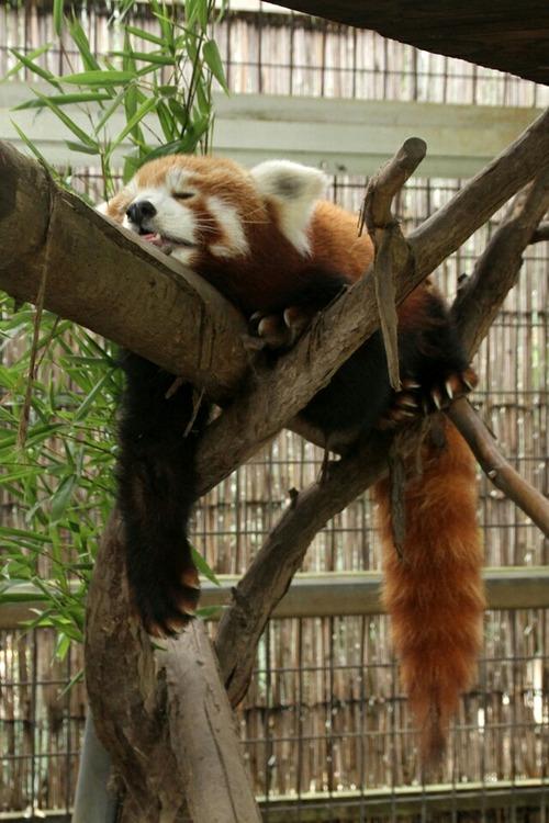 お昼寝 レッサーパンダ