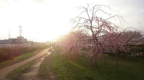 垂れ桜 特別史跡 五稜郭