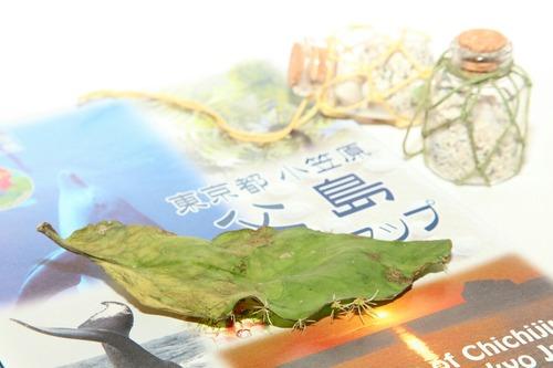 ハカラメ 小笠原土産 6月29日