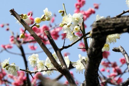 梅 大田区池上梅園 2013.3.2