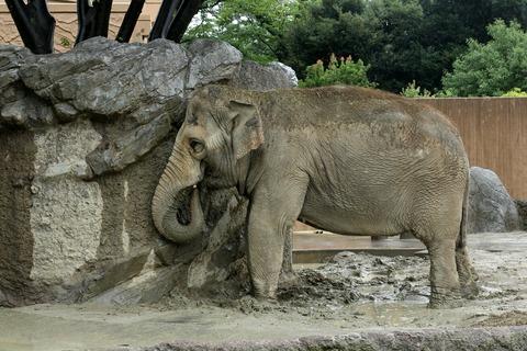 日立市 かみね動物園 アジアゾウ スズコ