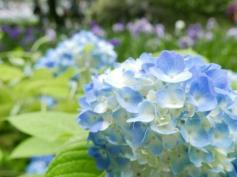 紫陽花 花菖蒲 本堂後庭園 鎌倉 明月院