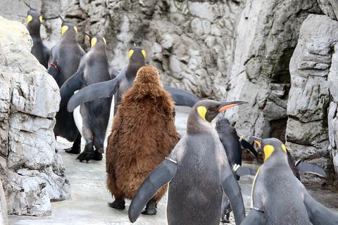 オウサマペンギン 葛西臨海水族園