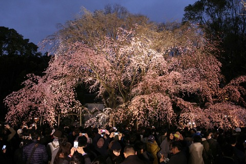 しだれ桜 ライトアップ 六義園