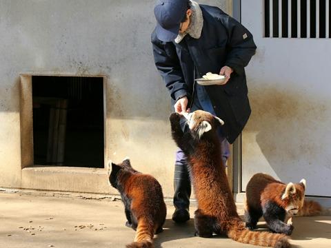 シセンレッサーパンダ 市川市動植物園