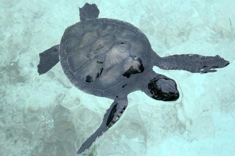 アオウミガメ 小笠原海洋センター