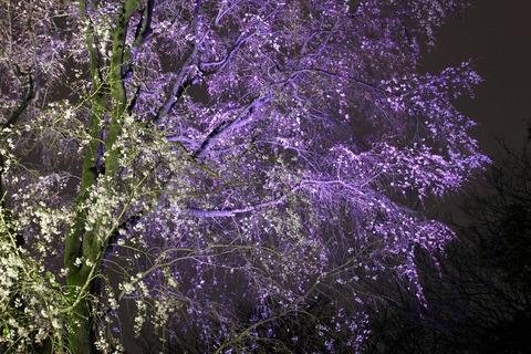 鶴姫のしだれ桜 ライトアップ 六義園