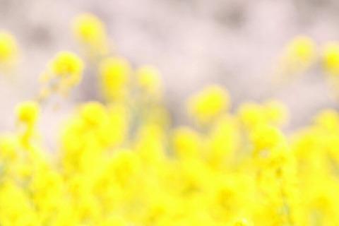 菜の花 桜 所沢航空記念公園