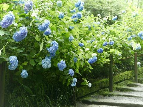 紫陽花 鎌倉 明月院