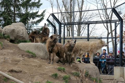 旭川市 旭山動物園 オオカミの森 オオカミ 遠吠え