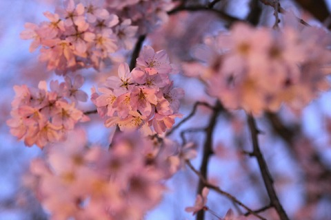 しだれ桜 六義園