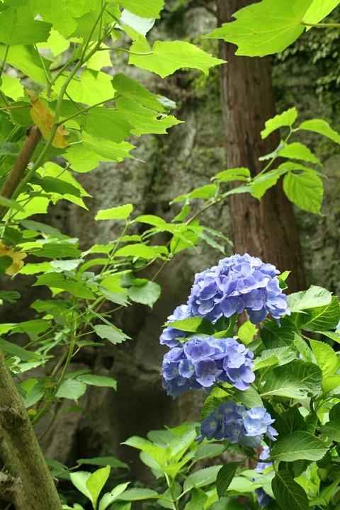 鎌倉 明月院 紫陽花 2010.6.