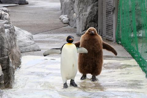 オウサマペンギン 幼鳥 ロワ 葛西臨海水族園