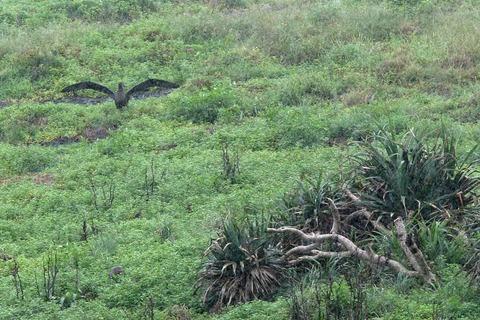 ケータ島エコツアー クロアシアホウドリ