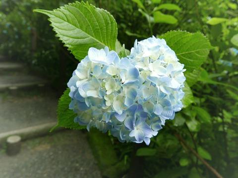 ハート 紫陽花 鎌倉 明月院