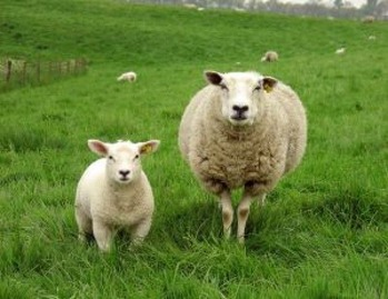 740923150_77e777af_sheep-and-lamb-on-the-grass_2285920
