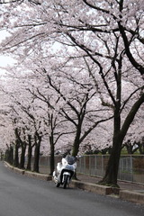 PCX & 桜