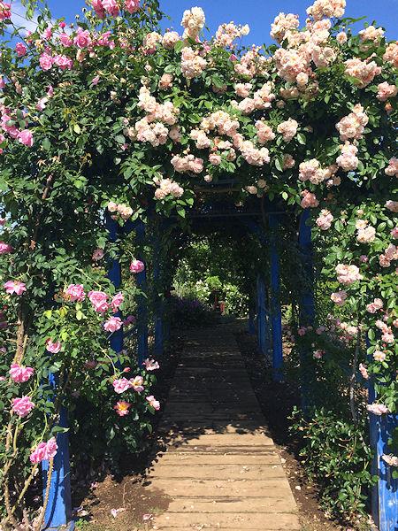 may-roses16.jpg