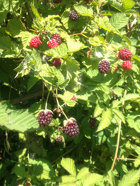 berries-tart2.jpg