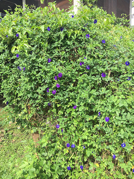 blue-batterfly2