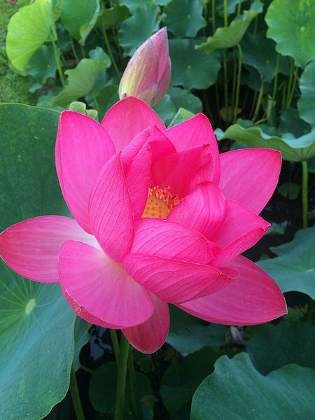 lotus16.jpg