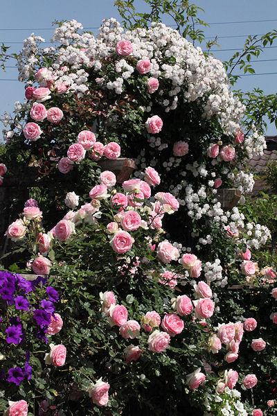 13rose-garden20.jpg