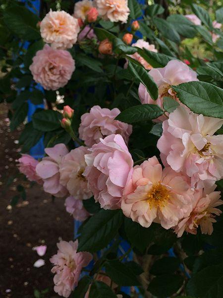 2015fujisawa-rose-garden18.jpg